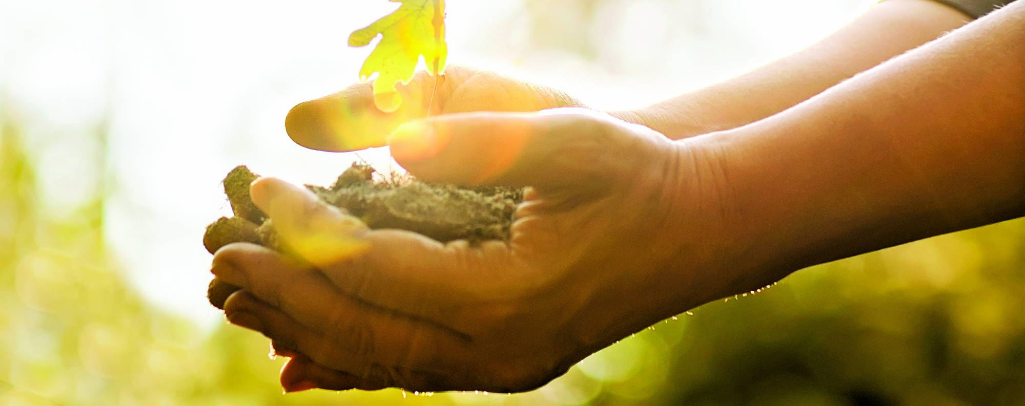 Oak sapling in hands.